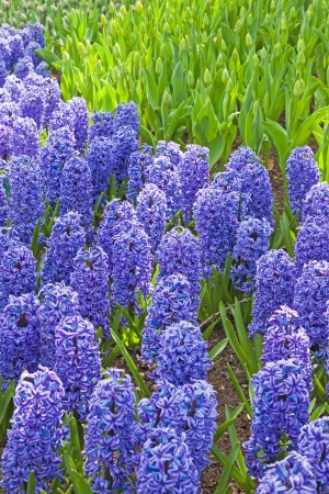 Field of purple hyacinths.