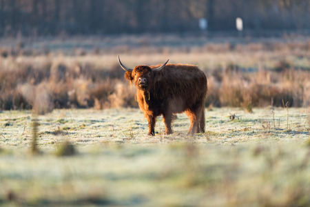 Bellowing highland cow in field. Lit by morning sun.