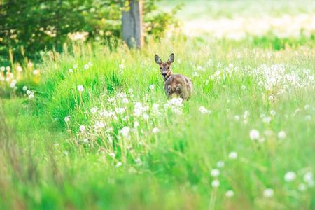 Photo pour Roe deer in meadow with dandelions. - image libre de droit