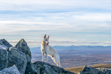 White German Shepherd dog standing on a mountain with mountain landscape in the background in Northern Sweden