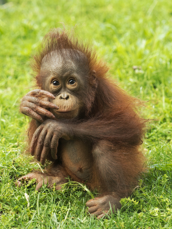 Little Orangutan puppy sitting on the grass
