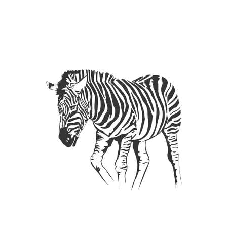 Illustration pour Vector zebra standing isolated on white background, graphical sketch illustration - image libre de droit