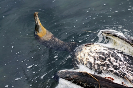 Dead cormorant in a polluted, foamed river