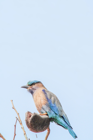 Photo pour Indian Roller (Coracias benghalensis) on the branch. They are found widely across tropical Asia - image libre de droit