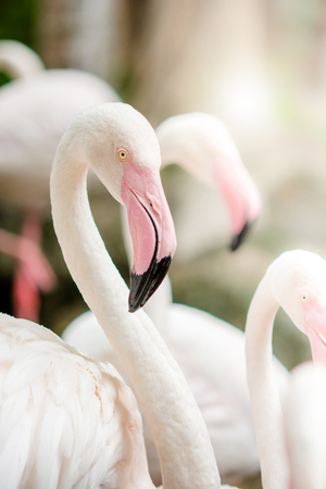 Photo pour Pink Flamingo-close up, it has a beautiful coloring of feathers. Greater flamingo, Phoenicopterus roseus - image libre de droit