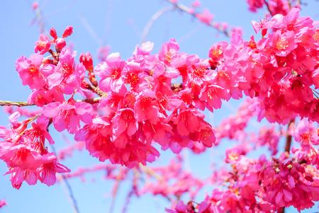 Photo pour Spring time with beautiful cherry blossoms, pink sakura flowers. - image libre de droit