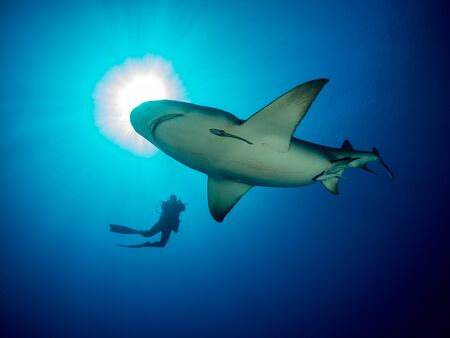 Photo pour Danderous shark swim throw the crystal clear water with sun on background and moving around diver - image libre de droit