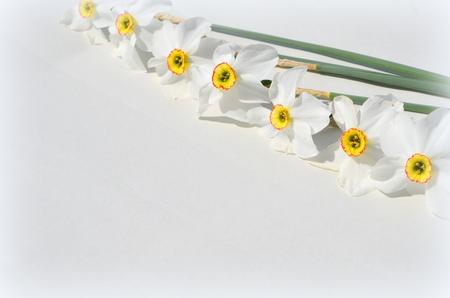 Photo pour daffodils - image libre de droit