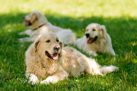Foto per Golden retrievers resting on lawn - Immagine Royalty Free