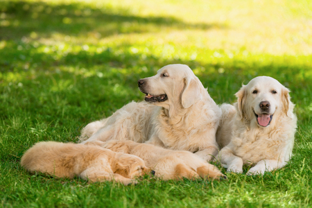Foto per Portrait of golden retriever family. Adult dogs are laying next to their litter of two sleeping puppies. Calm and harmony on a sunny summer day in the park. - Immagine Royalty Free