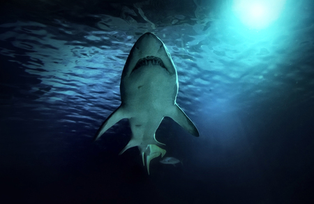 Photo pour White shark hunting under water. Predator under light in ocean. - image libre de droit