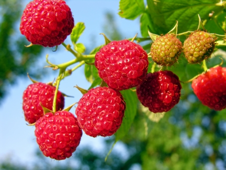 bunch of the ripe raspberry in the fruit garden