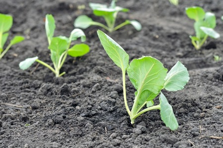 closeup of  freshly organically planted cabbage seedlings in the vegetable garden