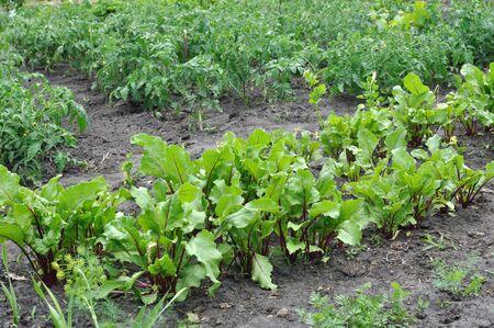 Foto de organically cultivated various vegetables in the vegetable garden - Imagen libre de derechos