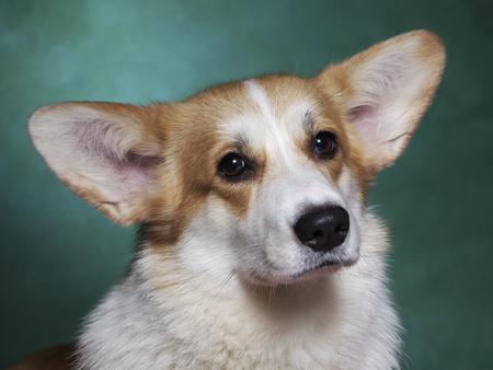 image shows breed welsh corgi, studio portrait