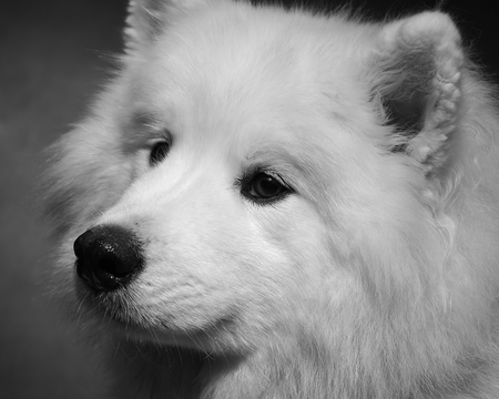 studio portrait of a female samoyed, the image is monochrome
