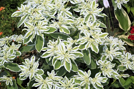 Euphorbia marginata or whitemargined spurge. Kennel Arboretum Blooming Valley.