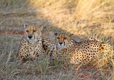 Cheetahs In The Savanna