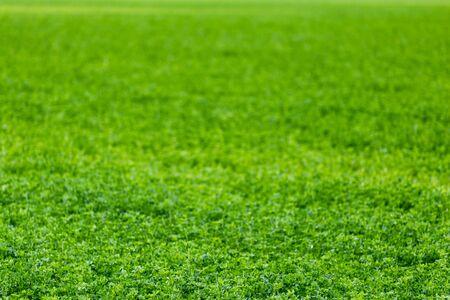 Foto de horizonless and edgeless green field agricultural background with selective focus and blur. - Imagen libre de derechos