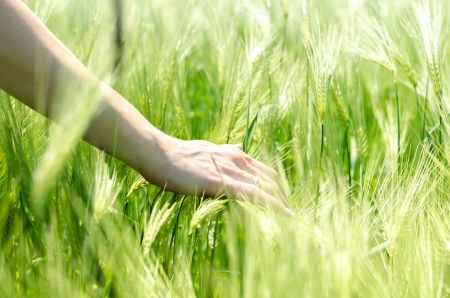 Delicate caring woman hand in wheat field