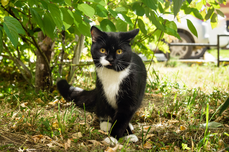 Black-white cat with yellow eyes is walking on a grass on sunny day.