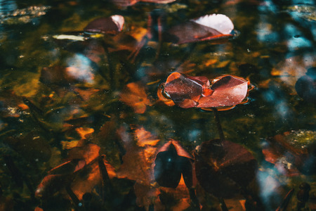 Photo pour Close-up of a red leaf of an aquatic plant in a lake on top of the water - image libre de droit