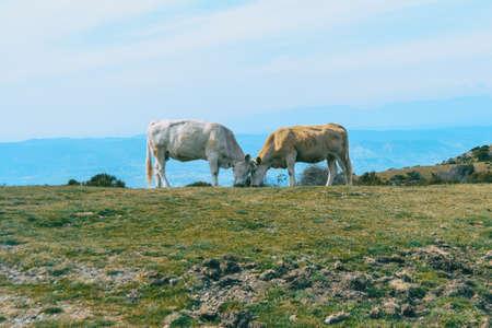 Foto de Two cows putting their heads together lovingly in a meadow - Imagen libre de derechos