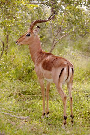 Impala Ram