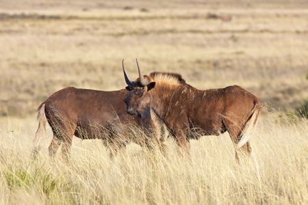 Black wildebeest (Connochaetes gnou), one of the rarest large mammals in the world, in the Mountain Zebra National Park, South Africa.