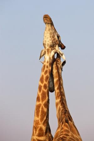 Zambezi120100005