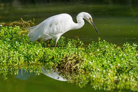 Photo pour A Little Egret stalking Prey at John Oldham Park in Perth, Western Australia. - image libre de droit