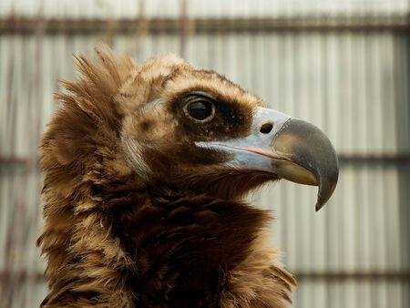 Photo pour Close up head portrait of a eagle. - image libre de droit