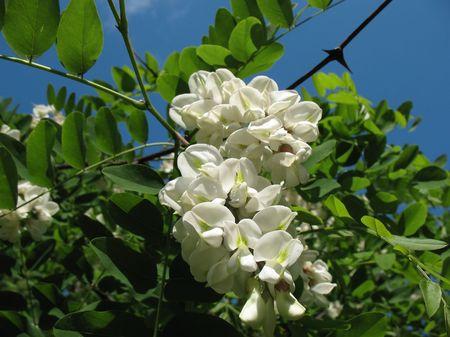 White acacia (Robinia pseudoacacia). Background