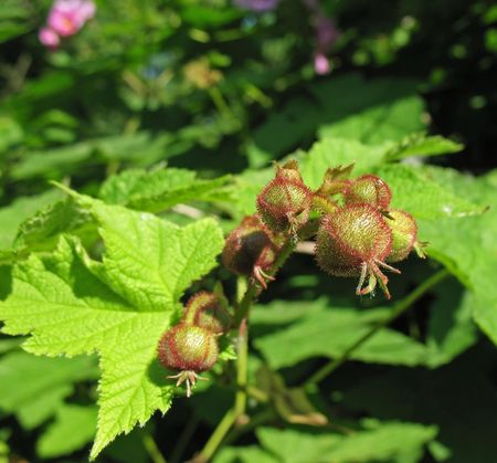 The buds of fragrant raspberry (Rubus odoratus), family Rosaceae