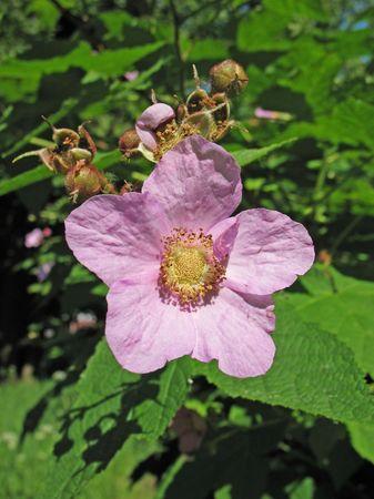 Fragrant raspberry (Rubus odoratus), family Rosaceae