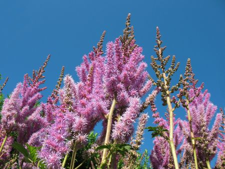 Panicle astilby (Astilbe, Saxifragaceae) against the blue sky