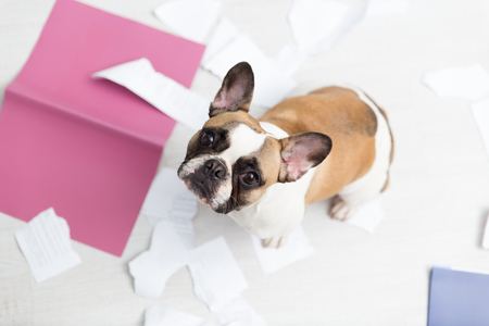 Photo for A domestic pet has taken on a home. Torn documents on white floor. Pet care abstract photo. Small guilty dog with funny face - Royalty Free Image