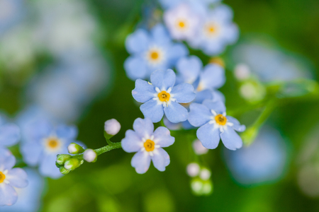 Foto de Macro of tiny blue flowers  forget-me-not  and colorful grass background in nature. Close up. - Imagen libre de derechos