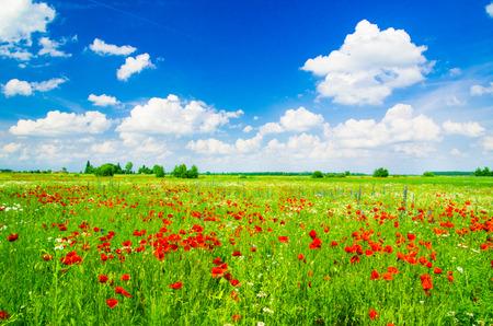 Photo for Vivid poppy field - Royalty Free Image