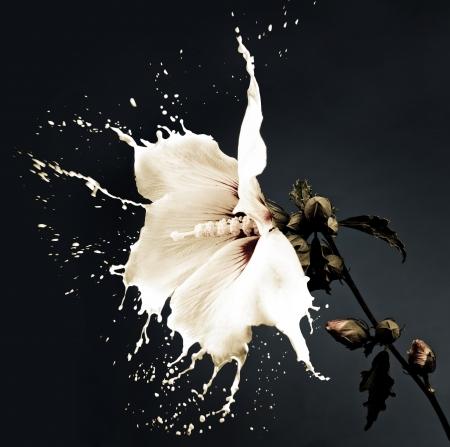 white flowers with milk splash on dark background