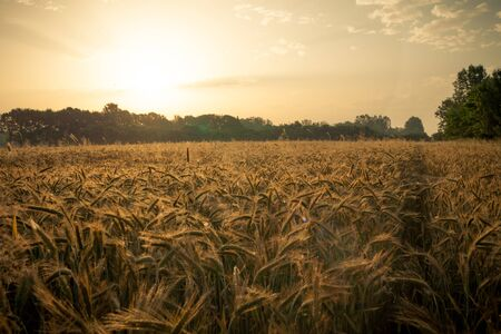 Photo pour Wheat field in the early morning. Golden ears of wheat sunlit. Wheat field with blue and golden sky and trees. - image libre de droit