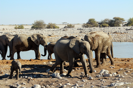 Wild elephants in the steppe of Africa Uganda
