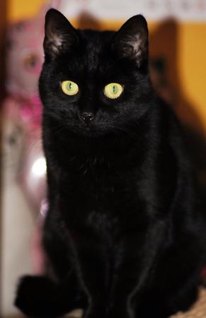 Photo pour Portrait of a beautiful black cat - image libre de droit