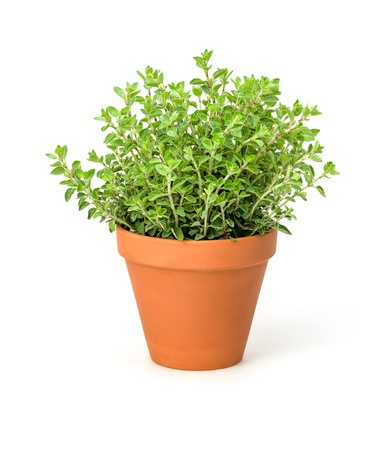 Oregano in a clay pot