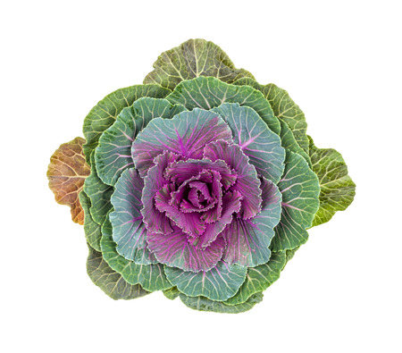 Purple ornamental cabbage on a white background