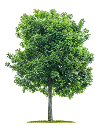 Photo pour Isolated  tree on a white background - Acer negundo - Maple ash - image libre de droit