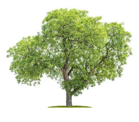 Photo for Isolated tree on a white background - Juglans regia - Walnut tree - Royalty Free Image