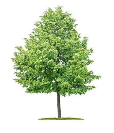 Photo pour Isolated  tree on a white background - Tilia cordata - Small-leaved linden - image libre de droit