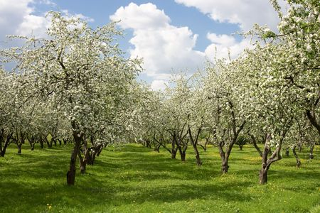 Apple trees during blooming.