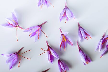 Photo for Many purple crocus sativus flowers isolated on white background. - Royalty Free Image